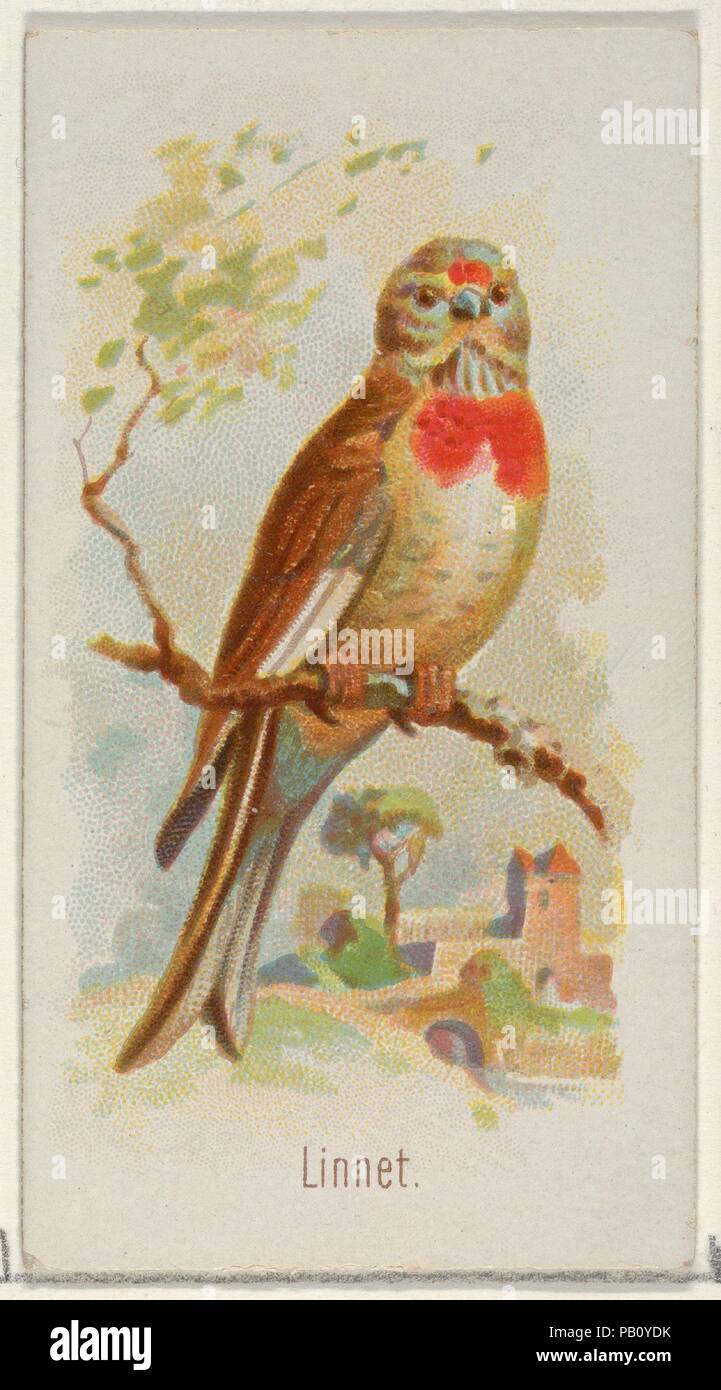 Linnet From The Song Birds Of The World Series N23 For Allen