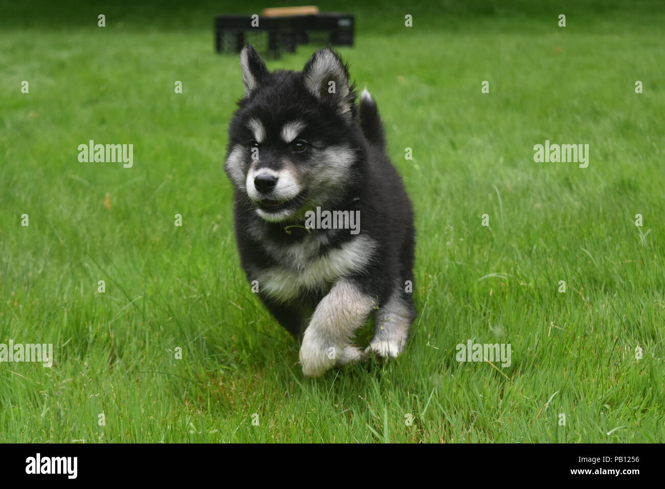 Adorable Alusky Puppy Dog Running At Full Speed Stock Photo