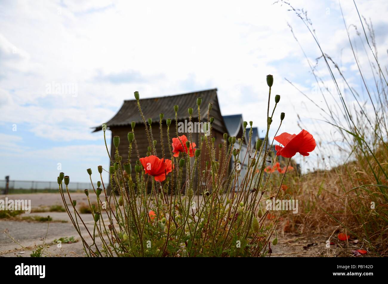 Common wild red poppies in sand dune with beach chalets in backgound, Lincolnshire, England, UK. Stock Photo