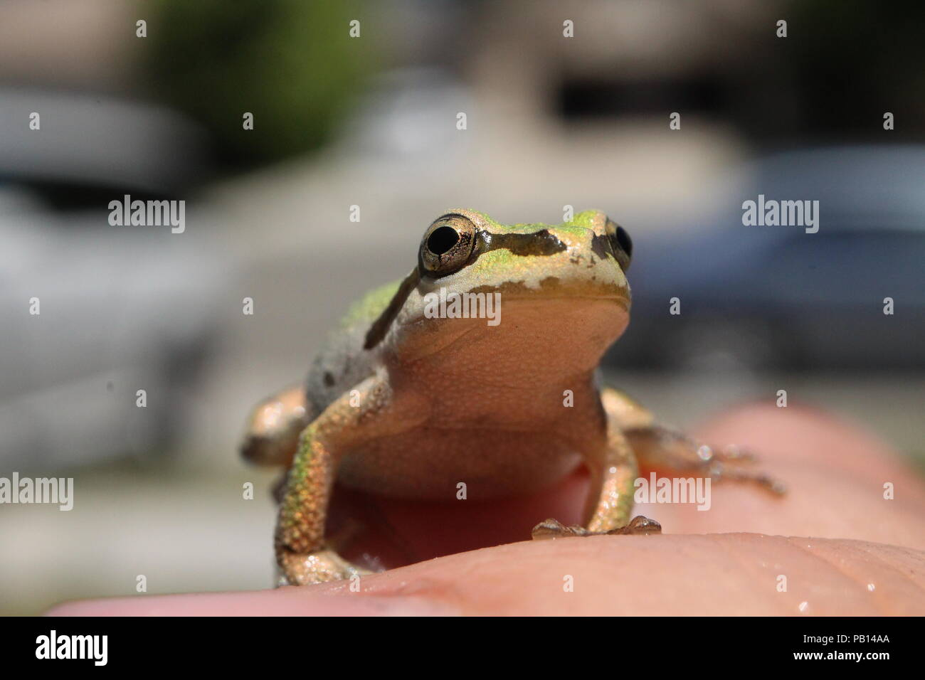 Found this guy swimming in pool, he was trying to stay cool in this summer heat. Luckily he found the water. - Stock Image