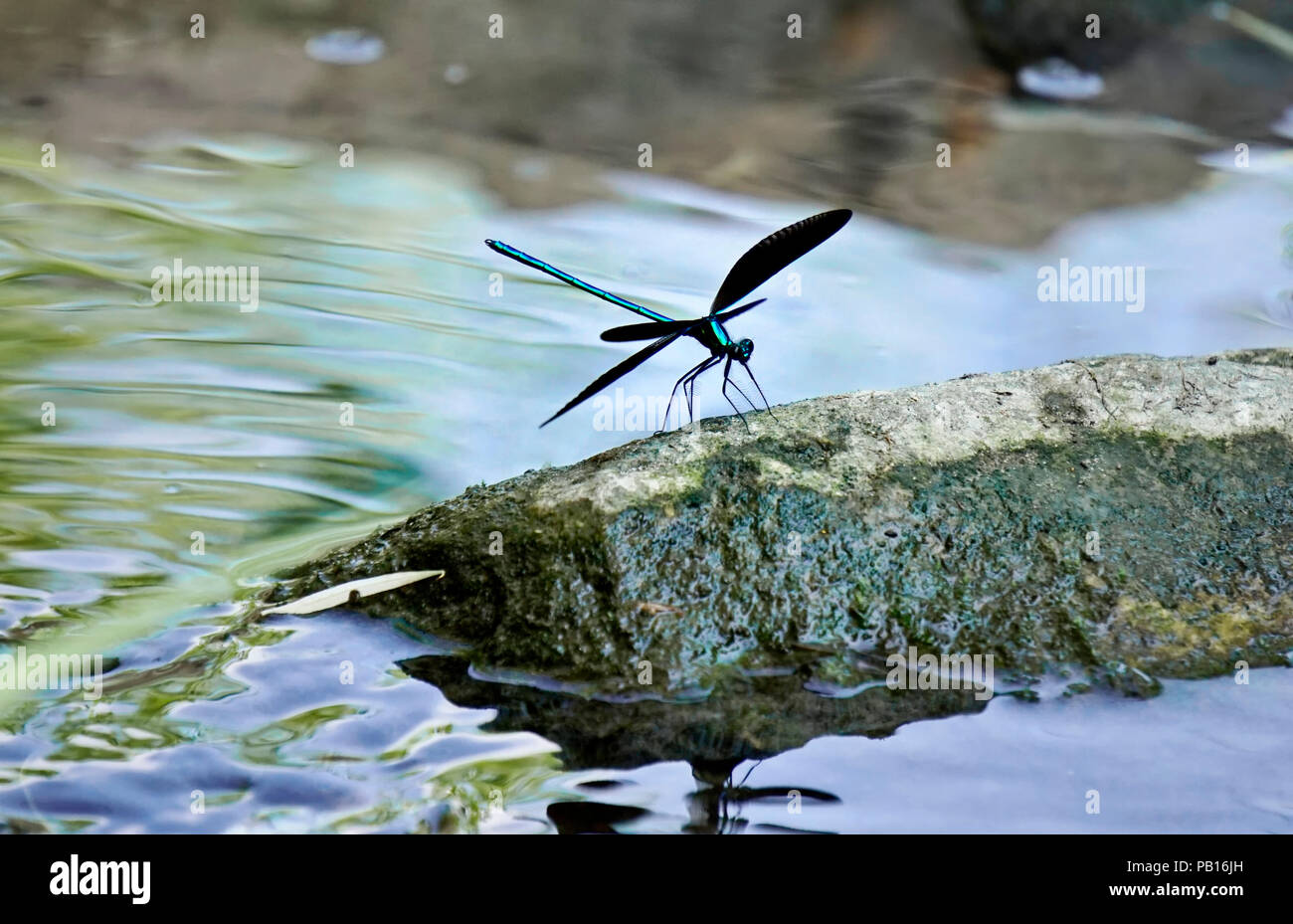 Ebony jewelwing flexing its beautiful iridious metallic green-blue colors on rock by stream in natural habitat in Toronto Ontario, Canada Stock Photo