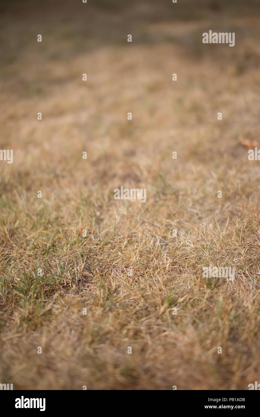 Sun parched lawn in the extremely dry and hot summer of 2018 in Denmark - Stock Image