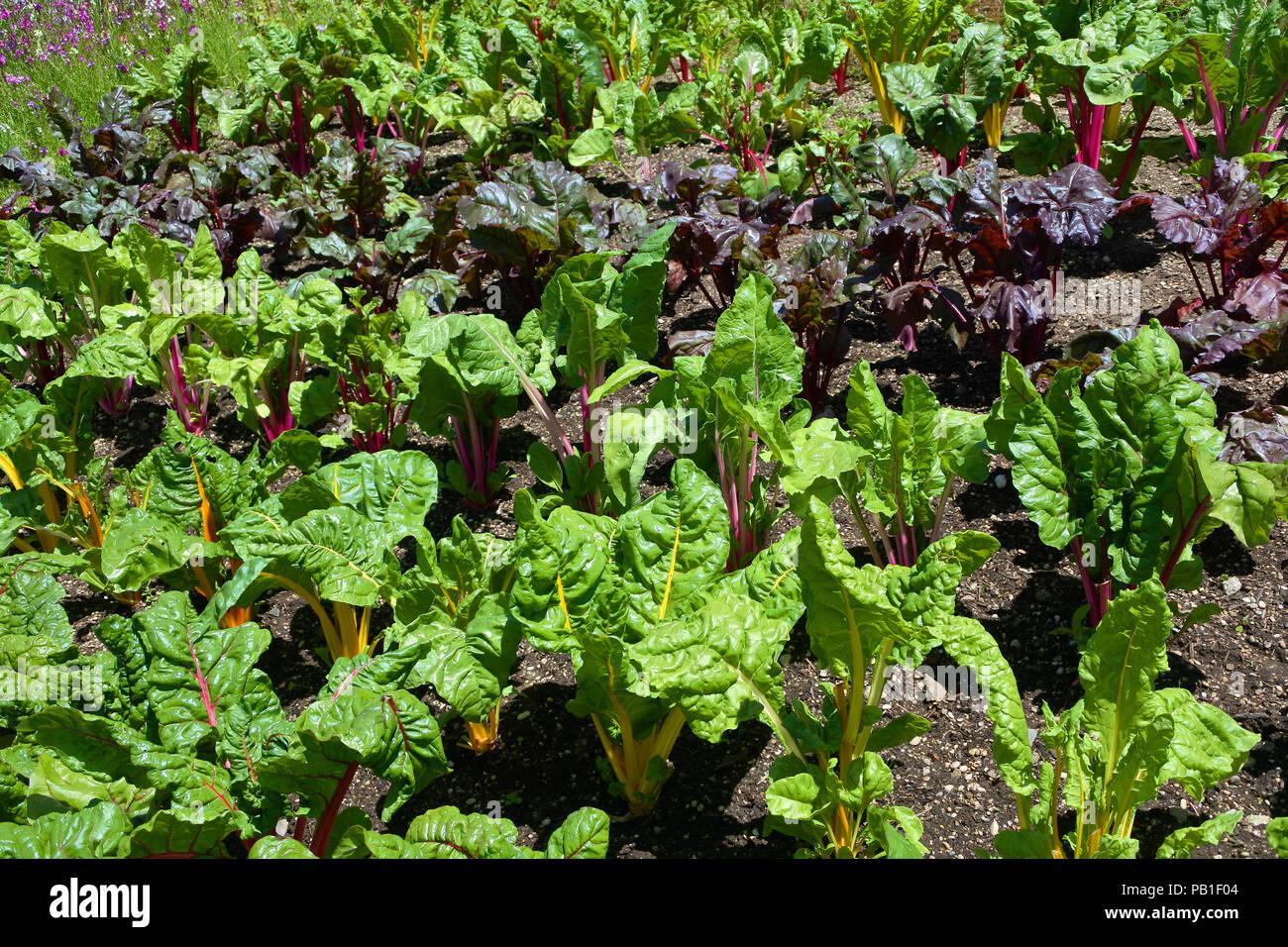Swiss chard growing in an English kitchen garden - John Gollop - Stock Image