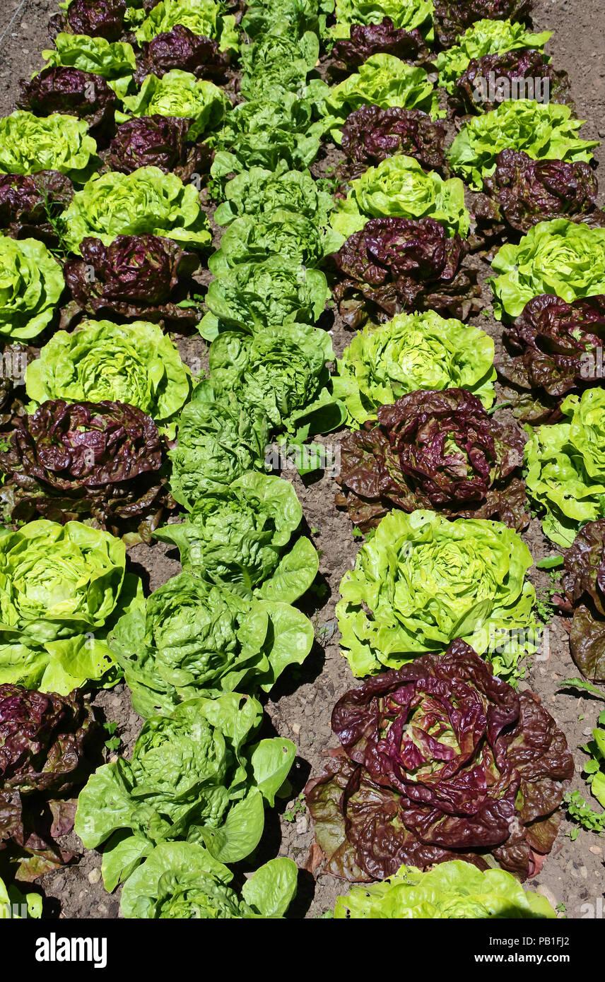 An assortment of lettuce growing in an English kitchen garden - John Gollop - Stock Image