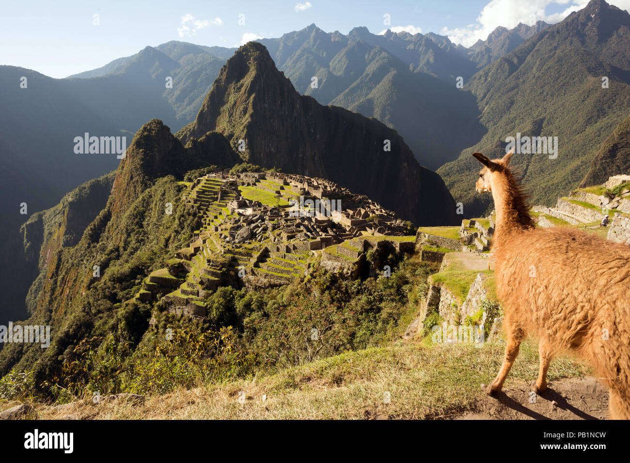 Llama looking at Machu Picchu Inca ruins in a sunny day - Stock Image