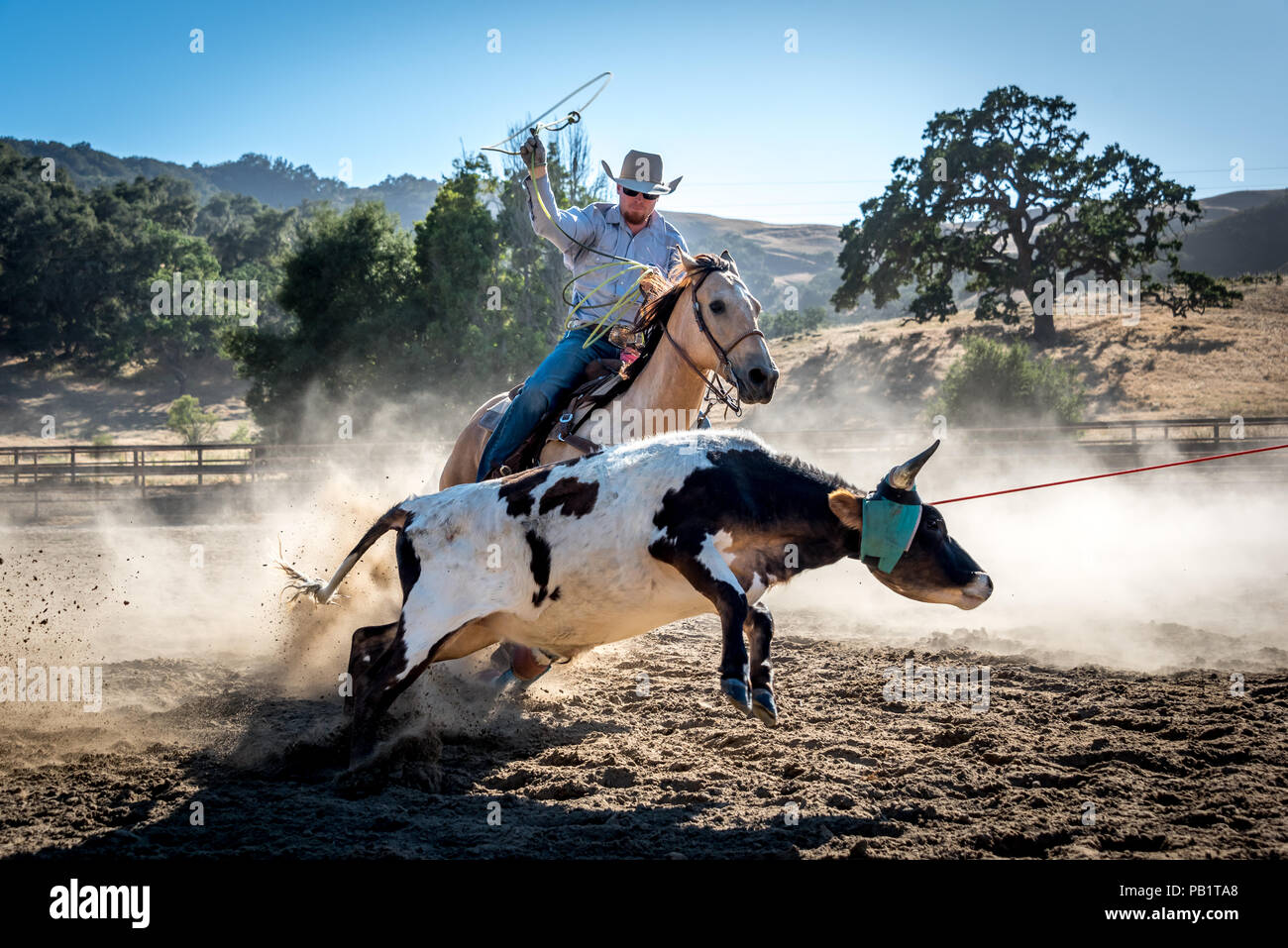 Cowboy roping young steer on horseback in Central California, sun shining through dust, oak tree in background. Lasso in air with one rope around calf - Stock Image