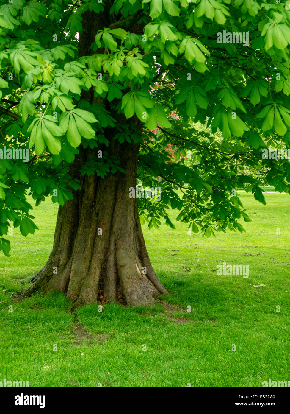 Horse Chestnut Tree, Aesculus hippocastanum, in spring with green leaves. - Stock Image