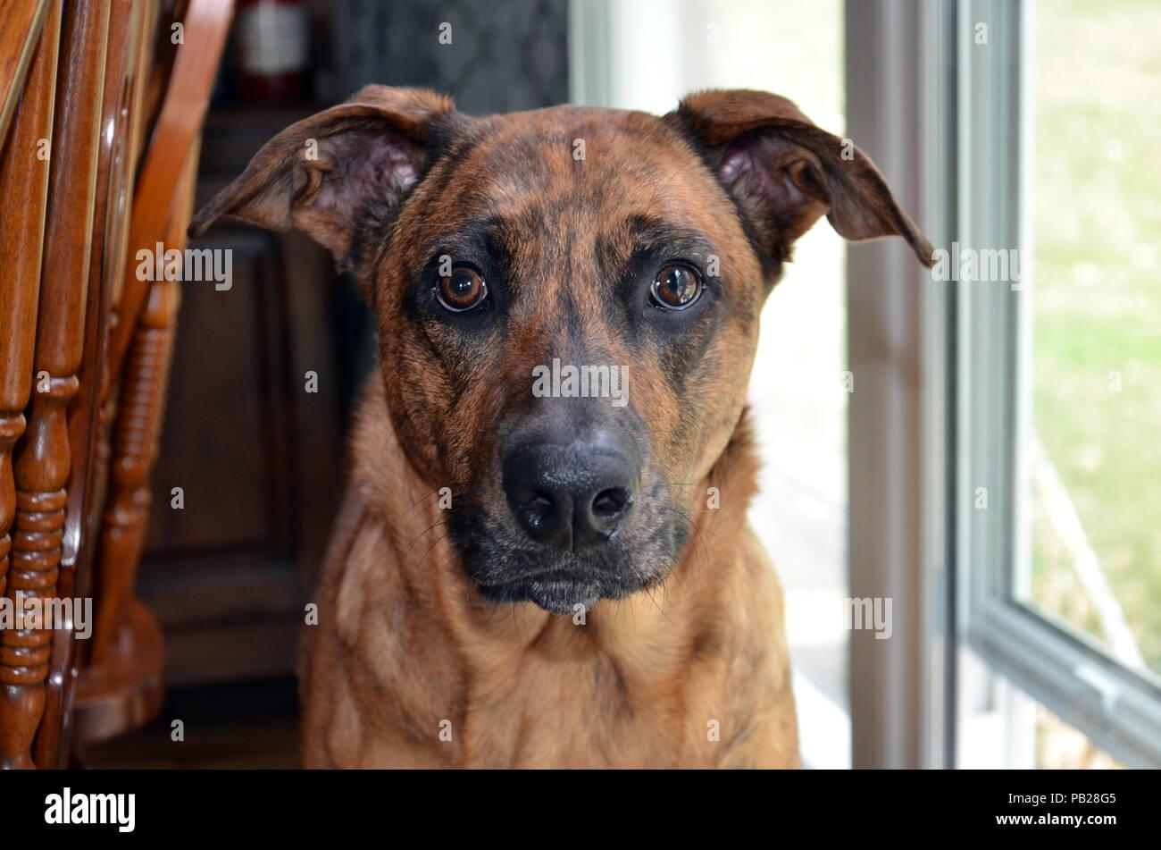 Brindle Dog - Stock Image