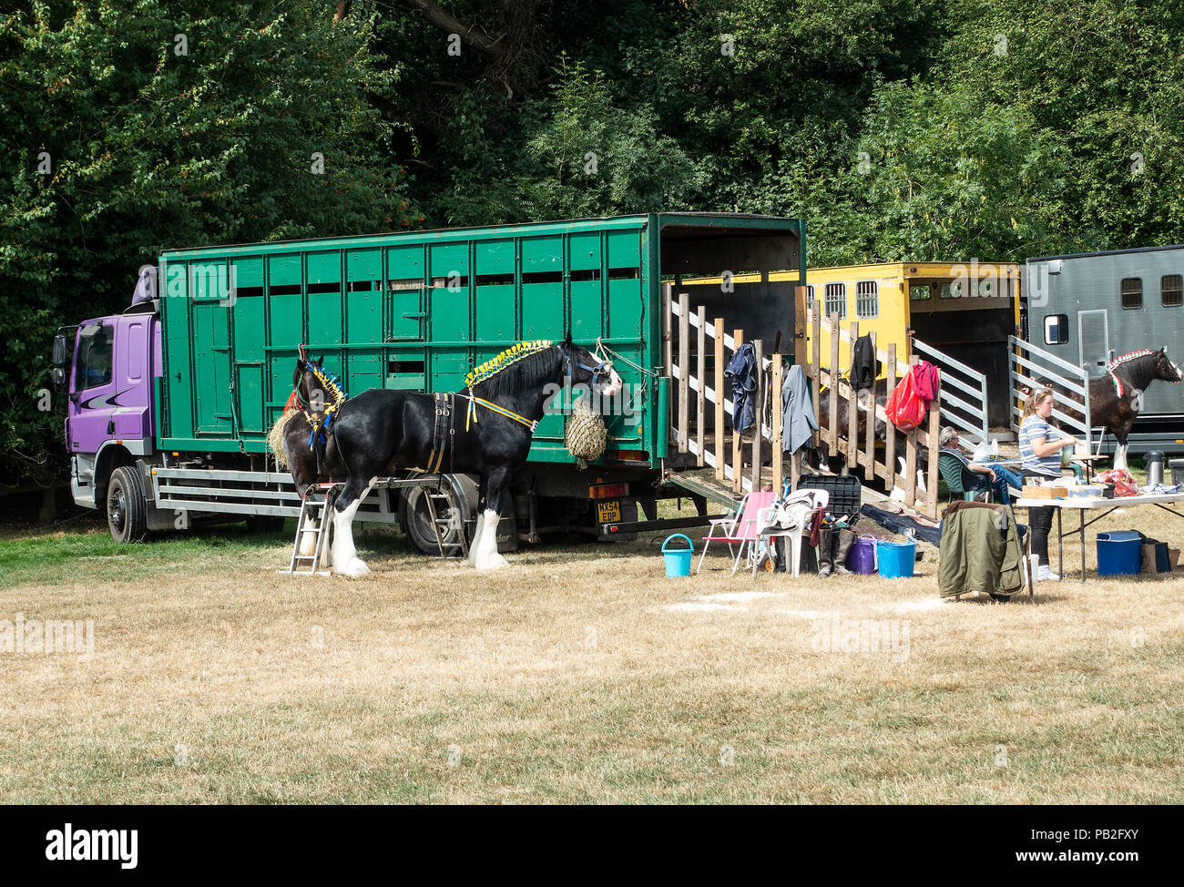 Shire Horses Tethered to Their Horseboxes in a Field Prior to Competition at the Nantwich Agricultural Show in Cheshire England United Kingdom UK - Stock Image