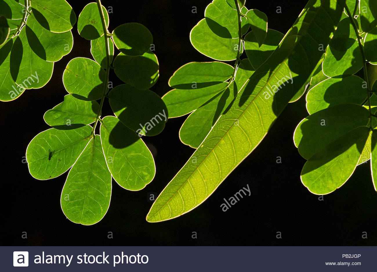 Leaves of the Rainforest Cassia(Senna acclinis), catching Autumn sunshine - the strong backlighting making them translucent; edges and veins aglow. - Stock Image