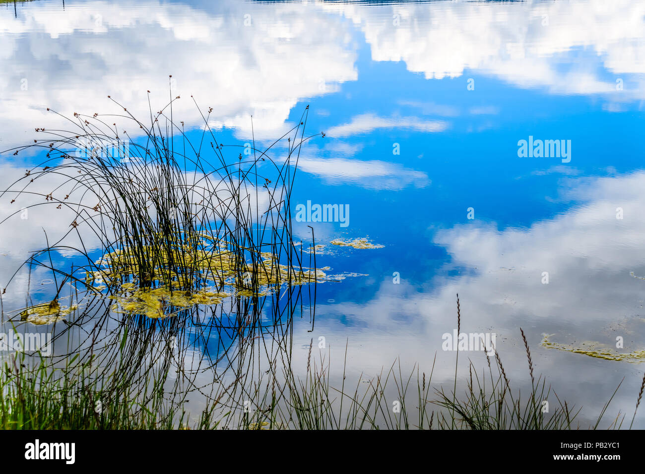 Reeds in Trapp Lake with Blue Sky and Clouds reflected on the smooth water surface. Trapp Lake is located along Highway 5A in British Columbia, Canada - Stock Image