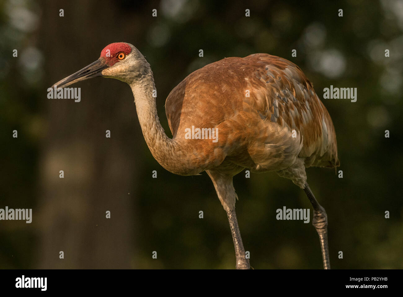 A sandill crane (Antigone canadensis) walks across a field in southern Wisconsin. Protection from the migratory bird act has restored numbers of crane - Stock Image