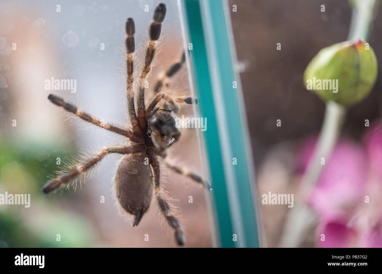 tarantula on human stock photos tarantula on human stock images