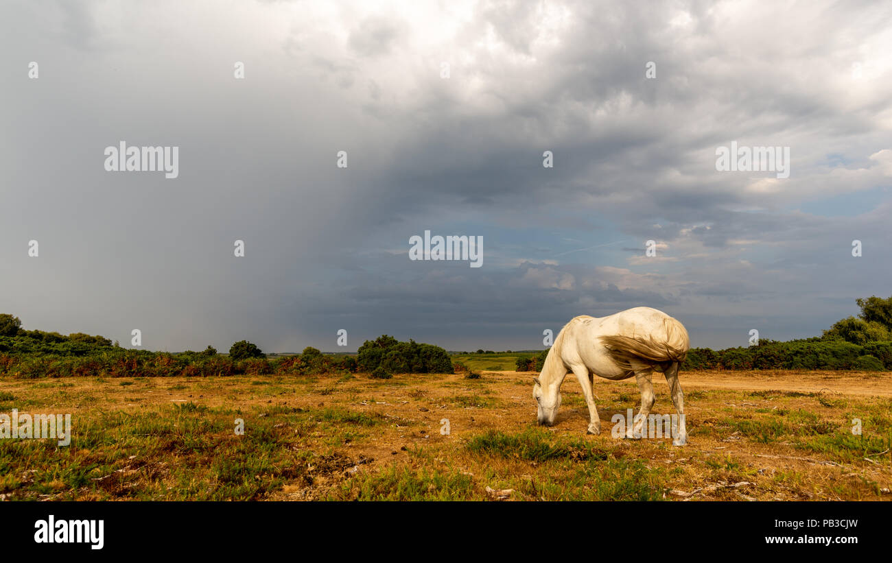 Godshill, New Forest, Hampshire, UK, 26th July 2018, Weather: Thunderstorm clouds on the horizon as a pony forages for sparse green grass. Any rain at all will come as a welcome relief from the weeks of hot dry weather. Credit: Paul Biggins/Alamy Live News - Stock Image