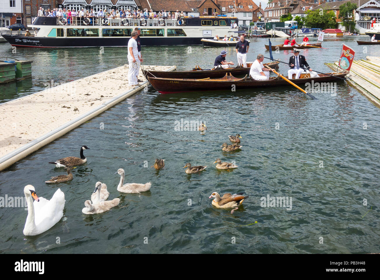 England, Oxfordshire, Henley, Swan Upping on River Thames, swan family have been trapped and are about to be 'upped' - Stock Image