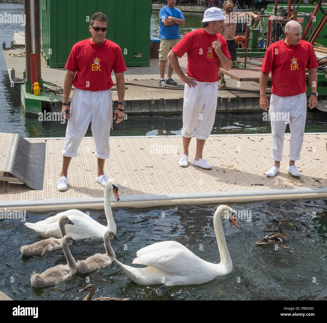 England, Oxfordshire, Henley, Swan Upping on River Thames, Swan family about to be 'upped'. - Stock Image