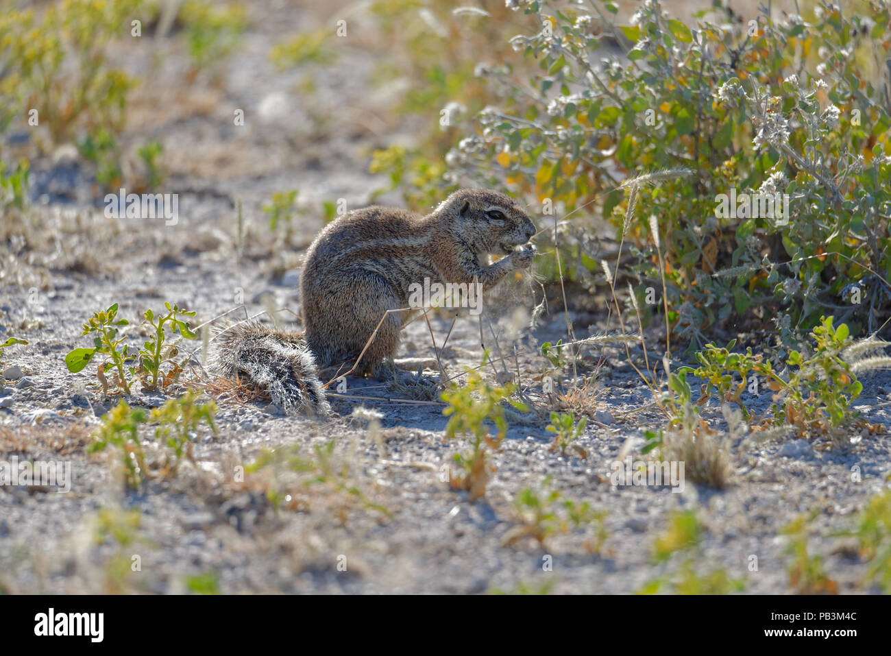 A ground squirrel releases a puff of pollen or seeds from the grass s/he is eating - Stock Image