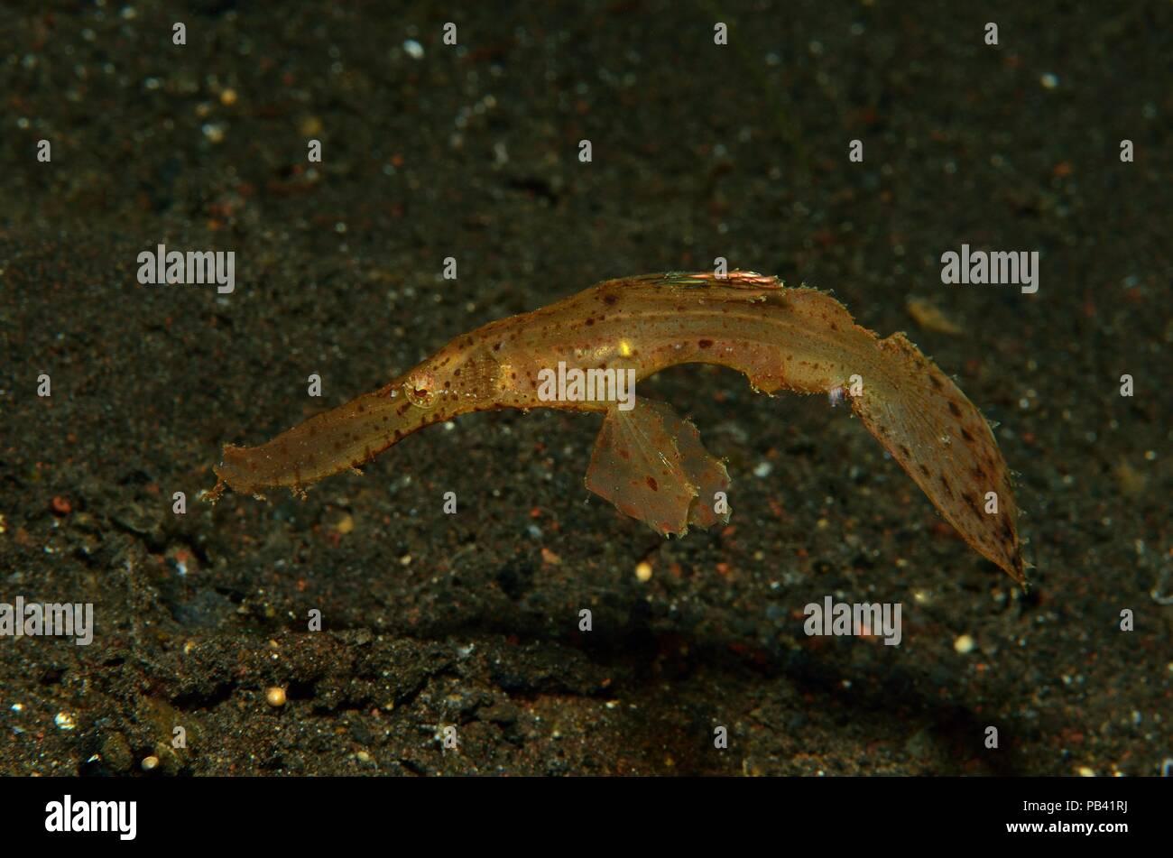 Seegras-Geisterpfeifenfisch, robust ghost pipefish, Solenostomus cyanopterus, Tulamben, Bali, Southeast Asia, Südostasien - Stock Image