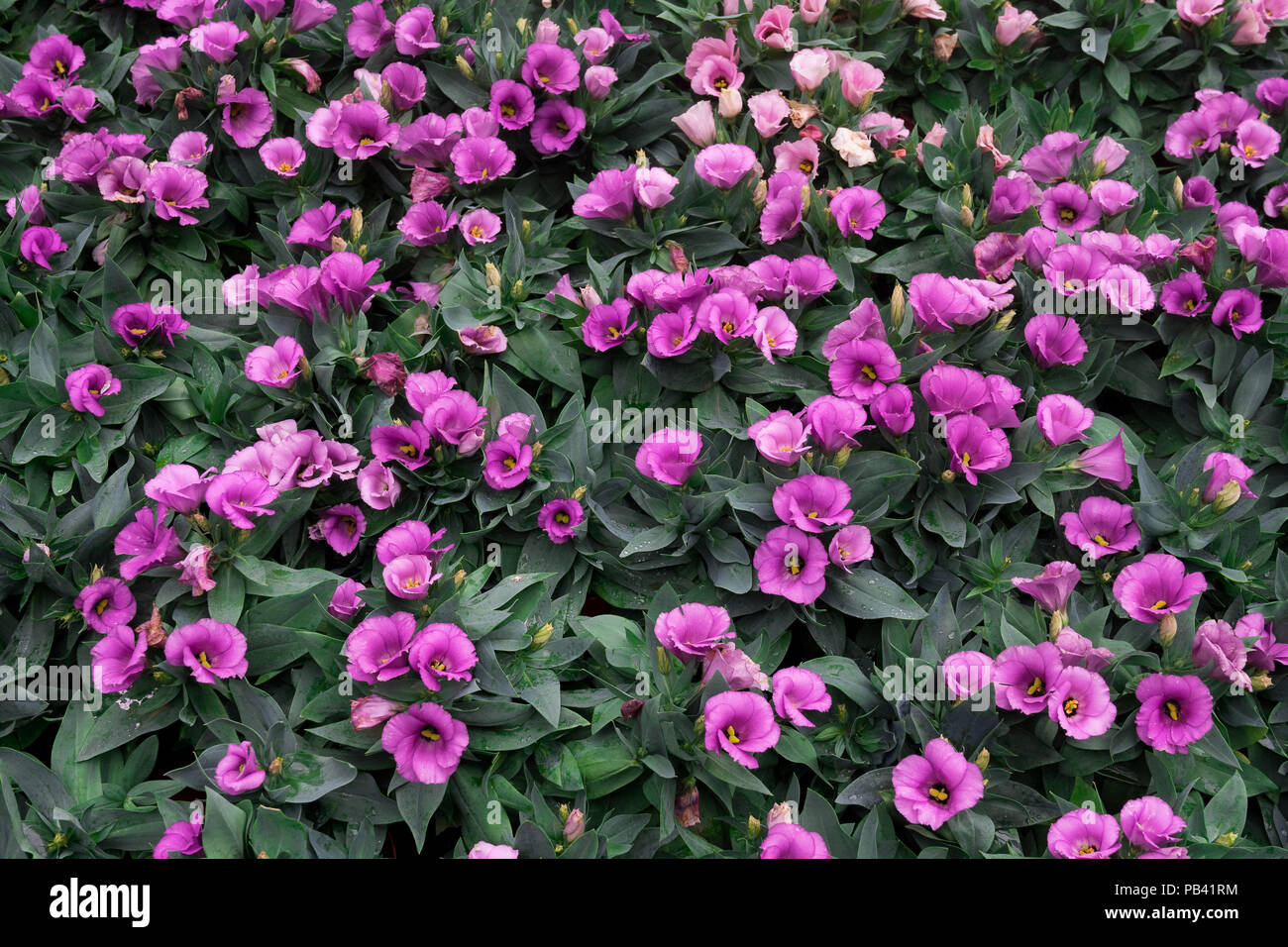 top view of Purple bloom Lisianthus flowers on green leafs background - Stock Image