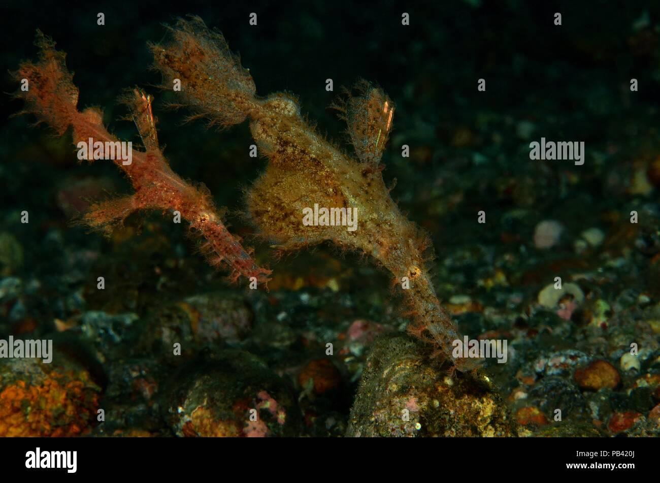 roughsnout ghost pipefisch, Geisterpfeifenfisch, Solenostomus paegnius, Tulamben, Bali, Southeast Asia, Südostasien - Stock Image