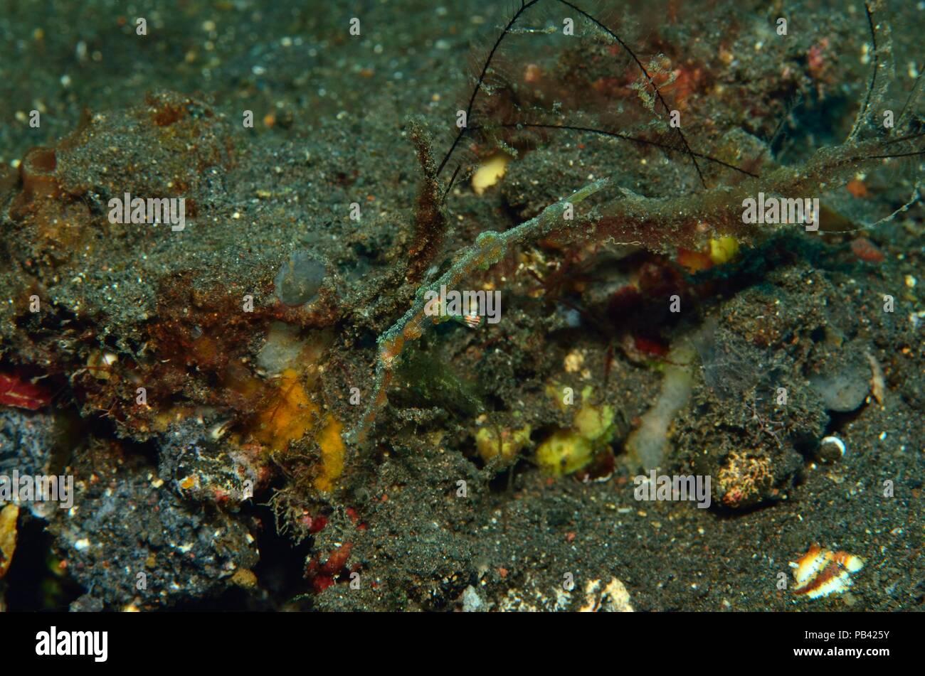 ghost pipefisch, Geisterpfeifenfisch, Solenostomus, Tulamben, Bali, Southeast Asia, Südostasien - Stock Image