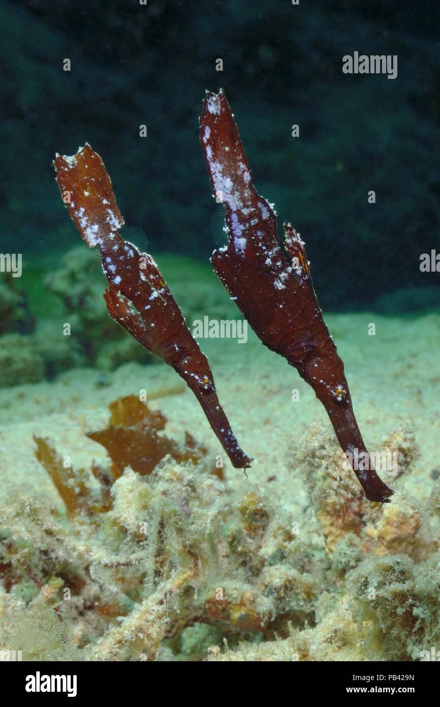 Seegras-Geisterpfeifenfisch, robust ghost pipefish (Solenostomus cyanopterus) - Stock Image