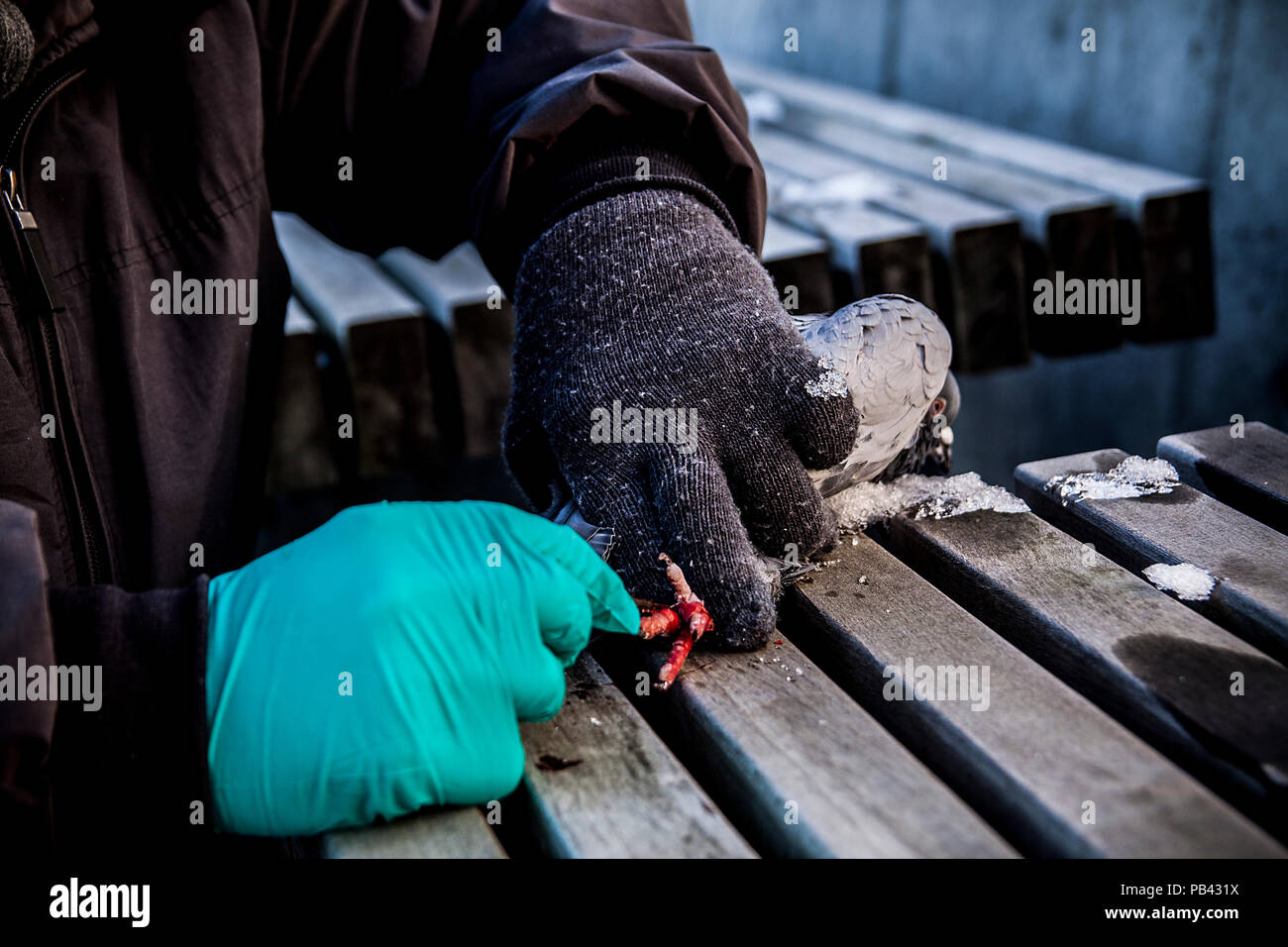 Operation of the pigeon - Stock Image