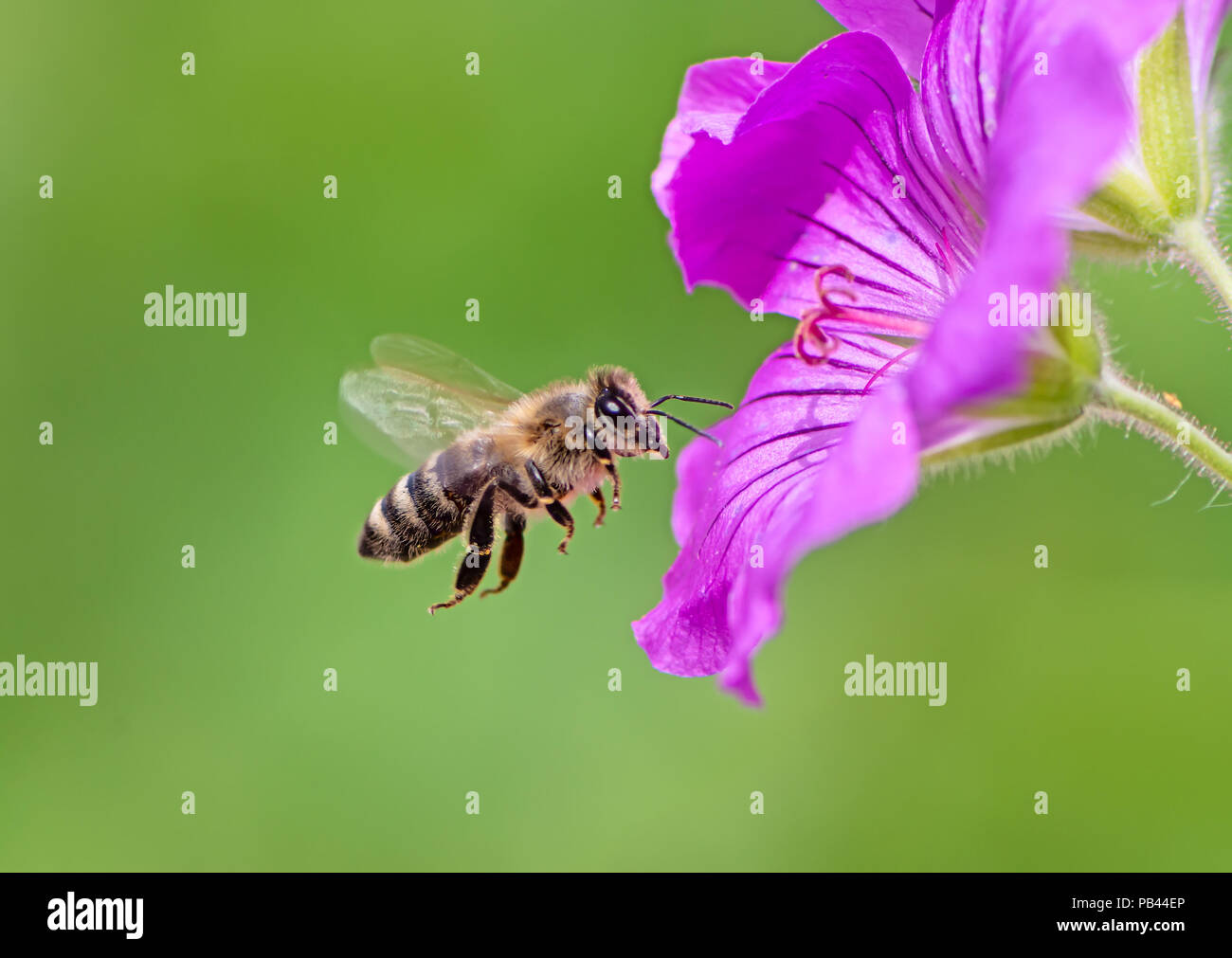 Honeybee flying to a purple geranium flower blossom - Stock Image