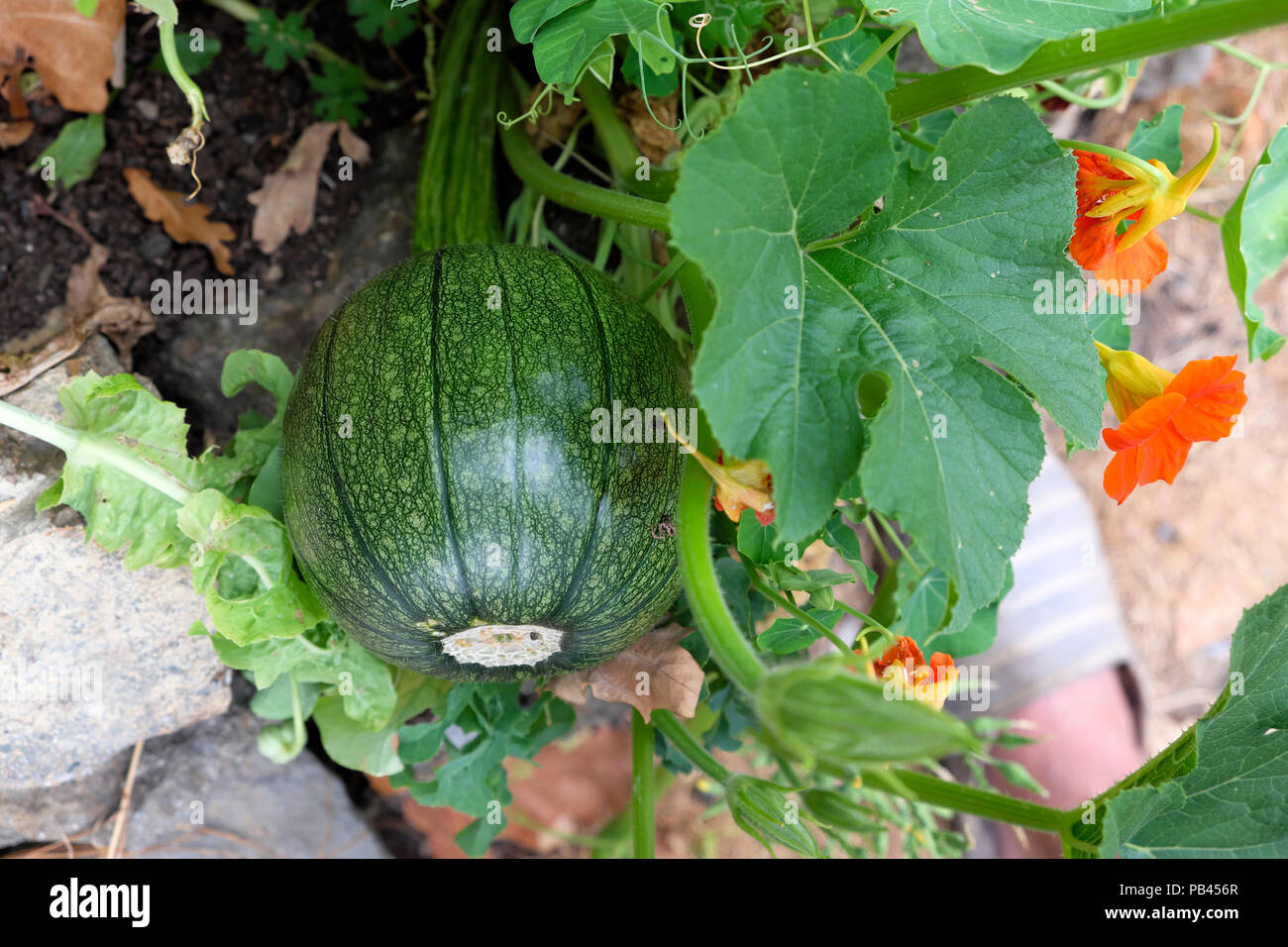 Hybridised courgette zucchini squash vegetable plant growing in summer 2018 garden in Carmarthenshire Wales UK  KATHY DEWITT Stock Photo