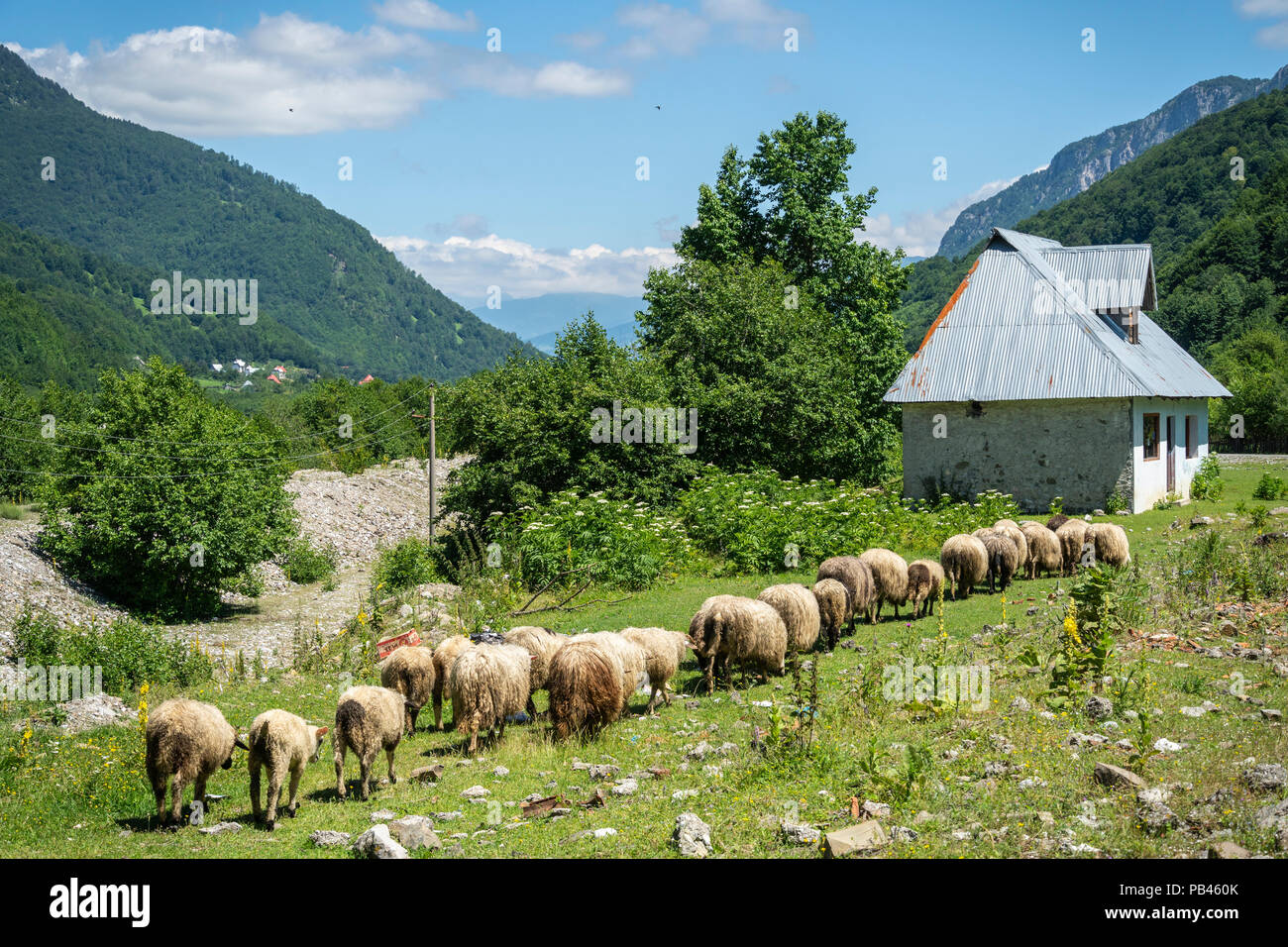 Sheep grazing in Vermosh, the most northerly village in Albania, just below the border with Montinegro.  Albania. - Stock Image