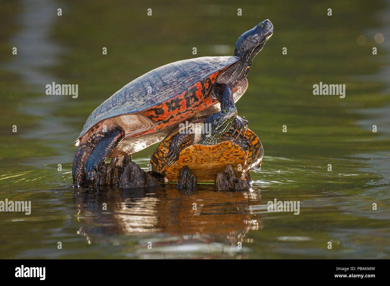 northern red-bellied turtle or redbellied cooter, (Pseudemys rubriventris), Maryland, IUCN near threatened species - Stock Image