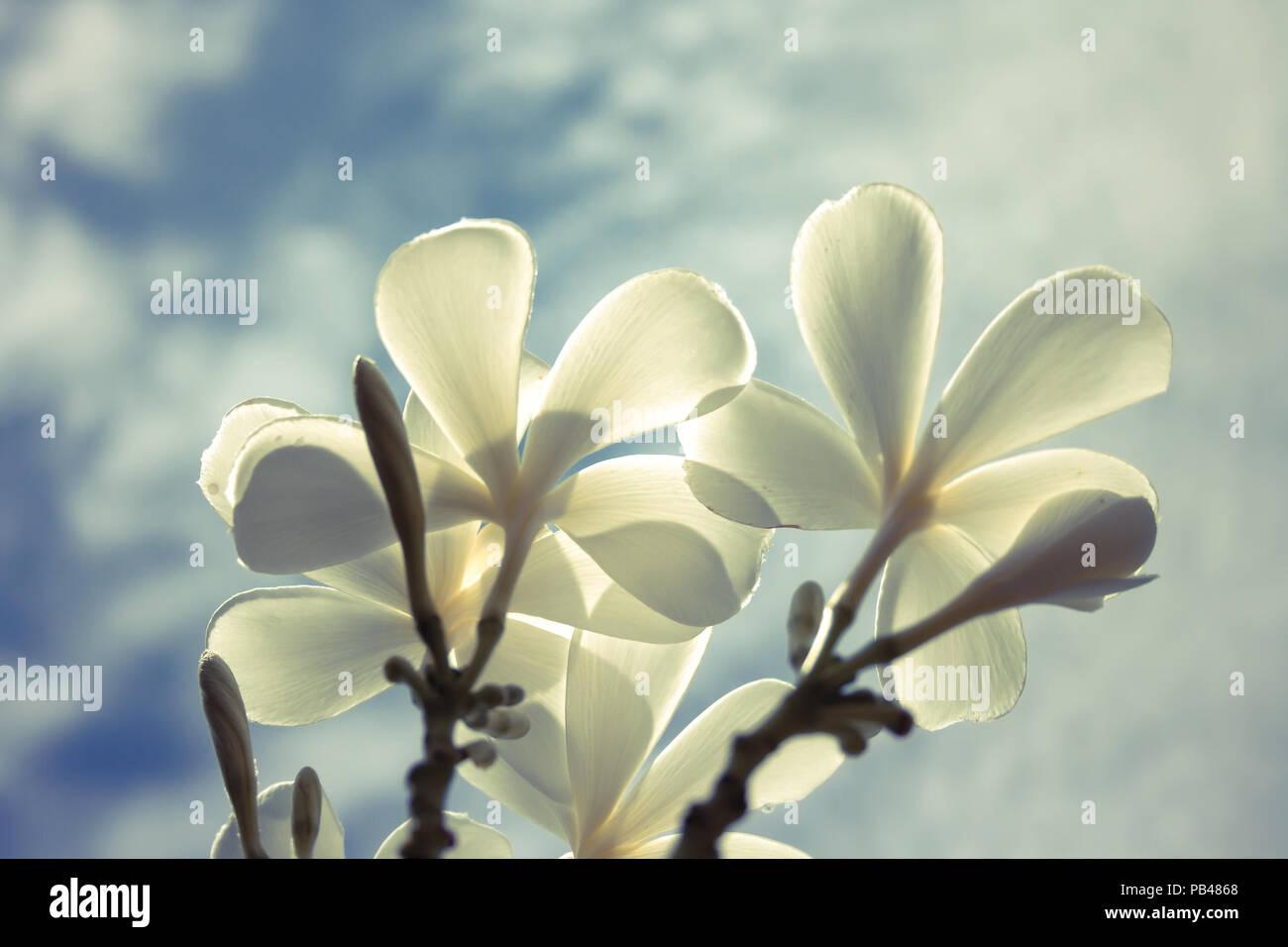 Vintage effect style of white plumeria flowers with blue sky vintage effect style of white plumeria flowers with blue sky center focus image izmirmasajfo