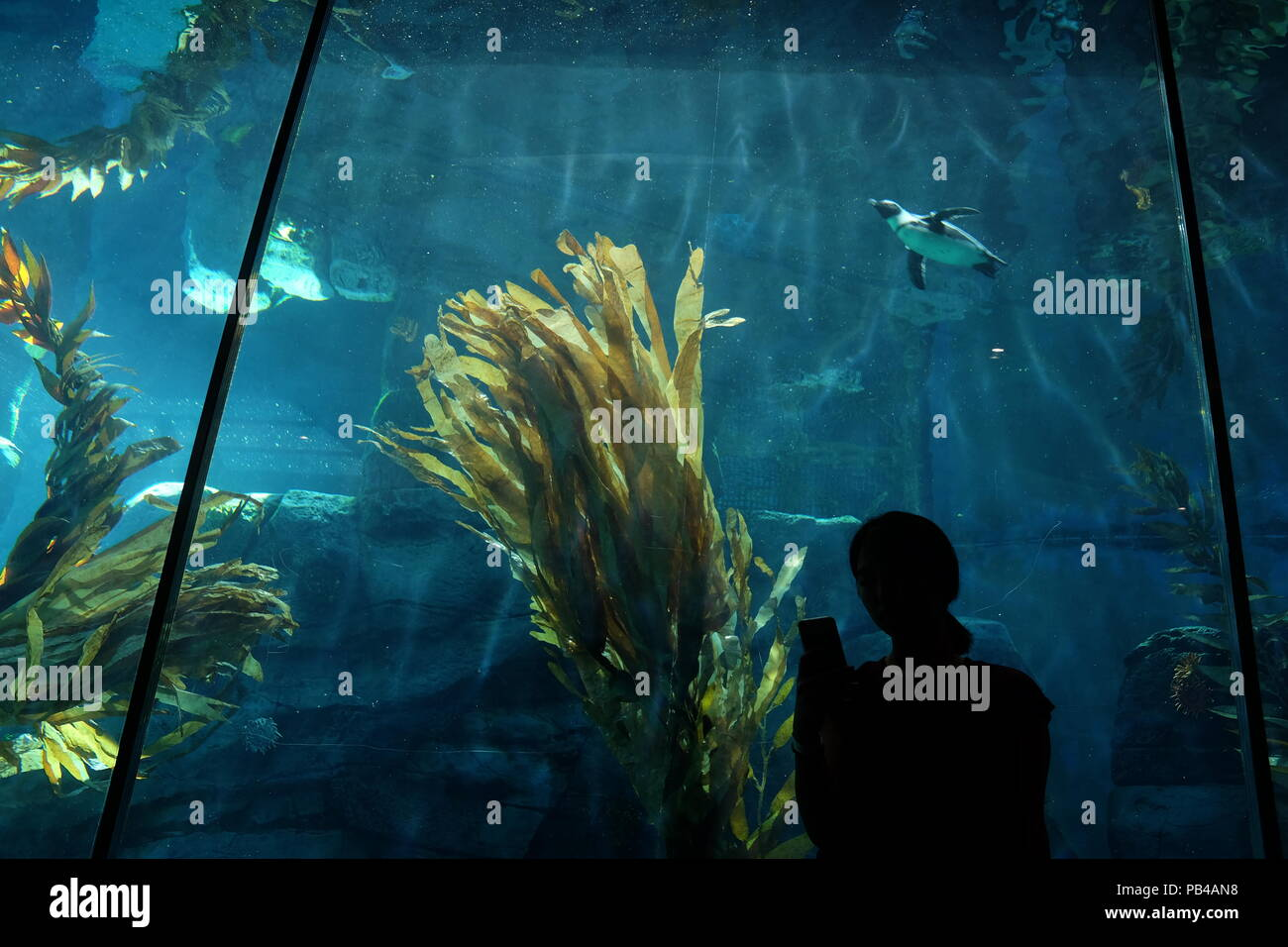 African Penguin Swimming In Aquarium Tank Stock Photos African
