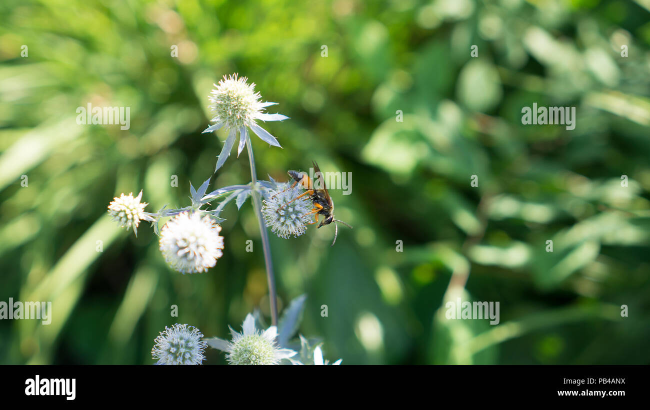 The photograph captures warm light shining on the buds of Thistles in Allen Gardens, one of the oldest parks in Toronto, while the bee is busy at work - Stock Image