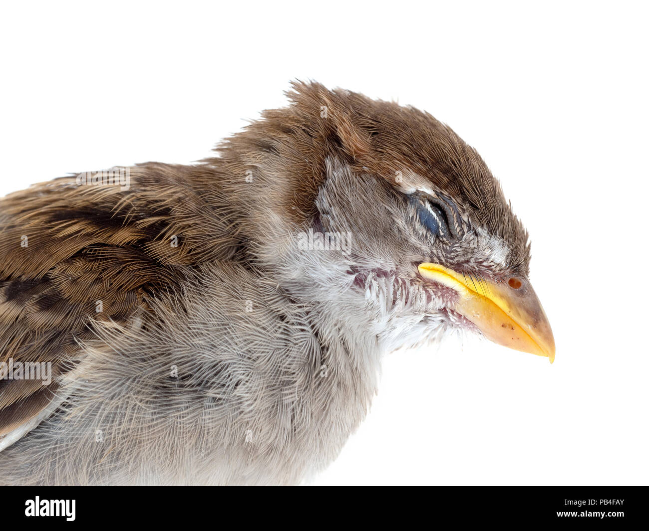 A dead sparrow, sadly killed by my pet cat. On white background. Young bird, just a fledgeling. Closeup head detail. - Stock Image