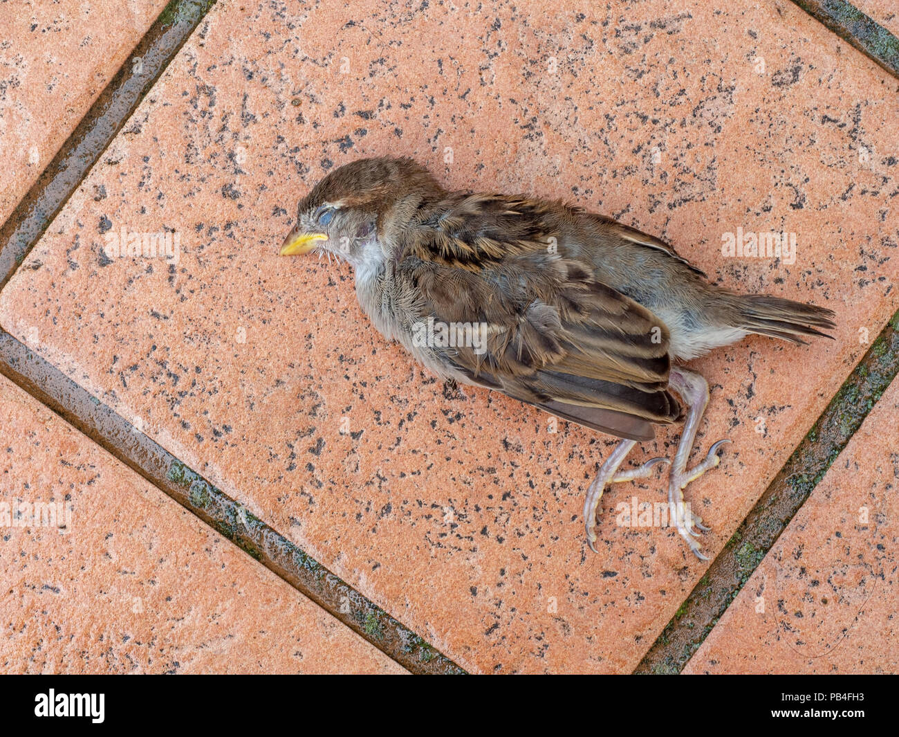Dead young fledgeling sparrow, a gift from my pet cat. Killed and left on my patio. - Stock Image
