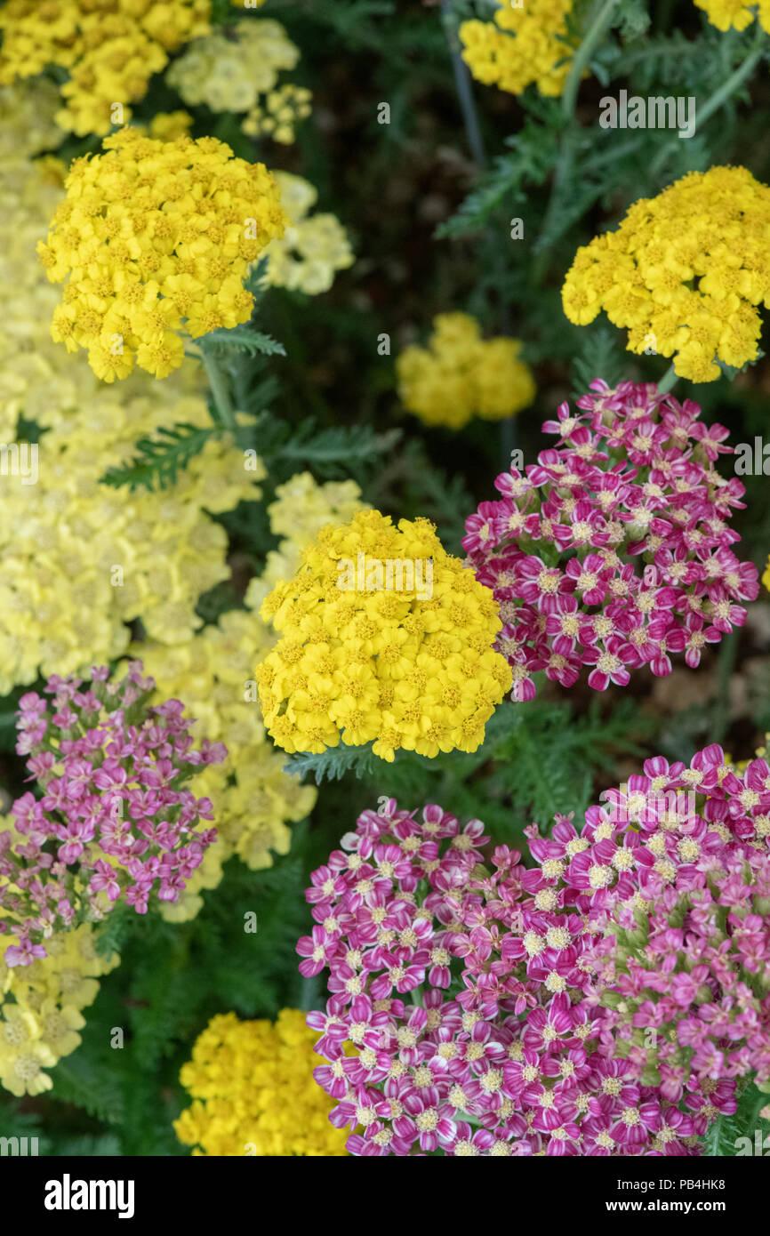 Achillea 'Little moonshine'. Achillea millefolium 'Little moonshine'. Yarrow Flowers - Stock Image