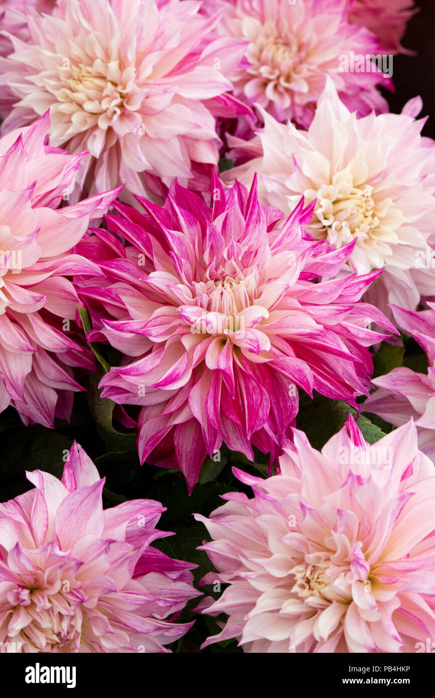 Dahlia Cafe Au Lait Royal On A Flower Show Display Uk Stock Photo Alamy