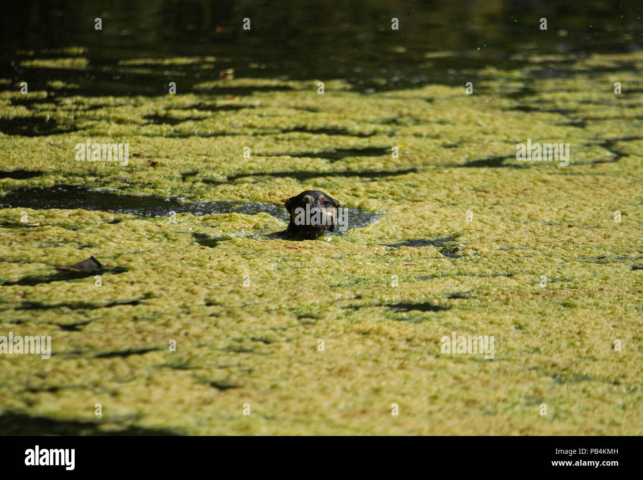 Skollie, a seven-year-old Staffy Cross Labrador, swims in a pond on Hampstead Heath, London. - Stock Image