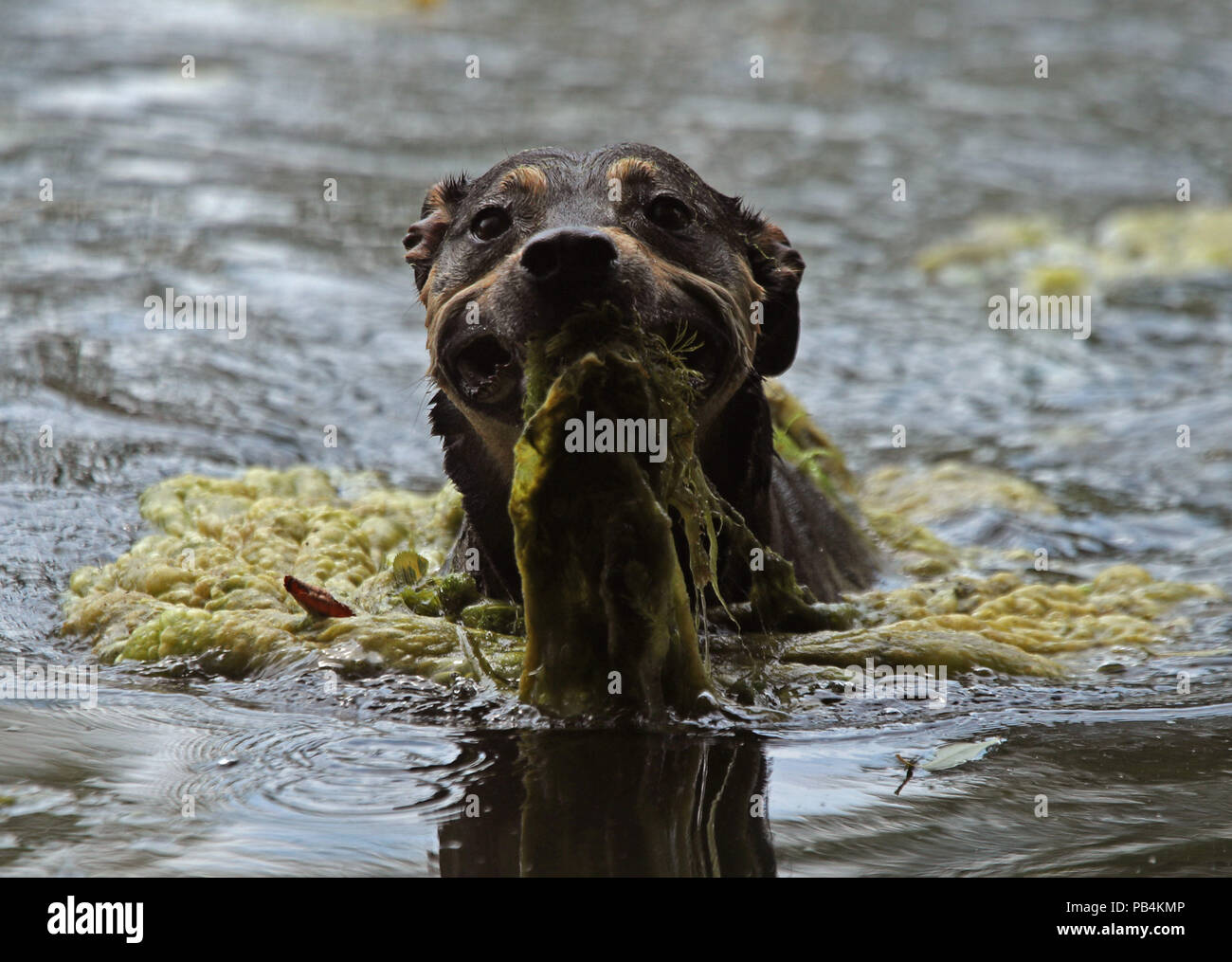 Skollie, a seven-year-old Staffy Cross Labrador, swims with algae in his mouth in a pond on Hampstead Heath, London. - Stock Image