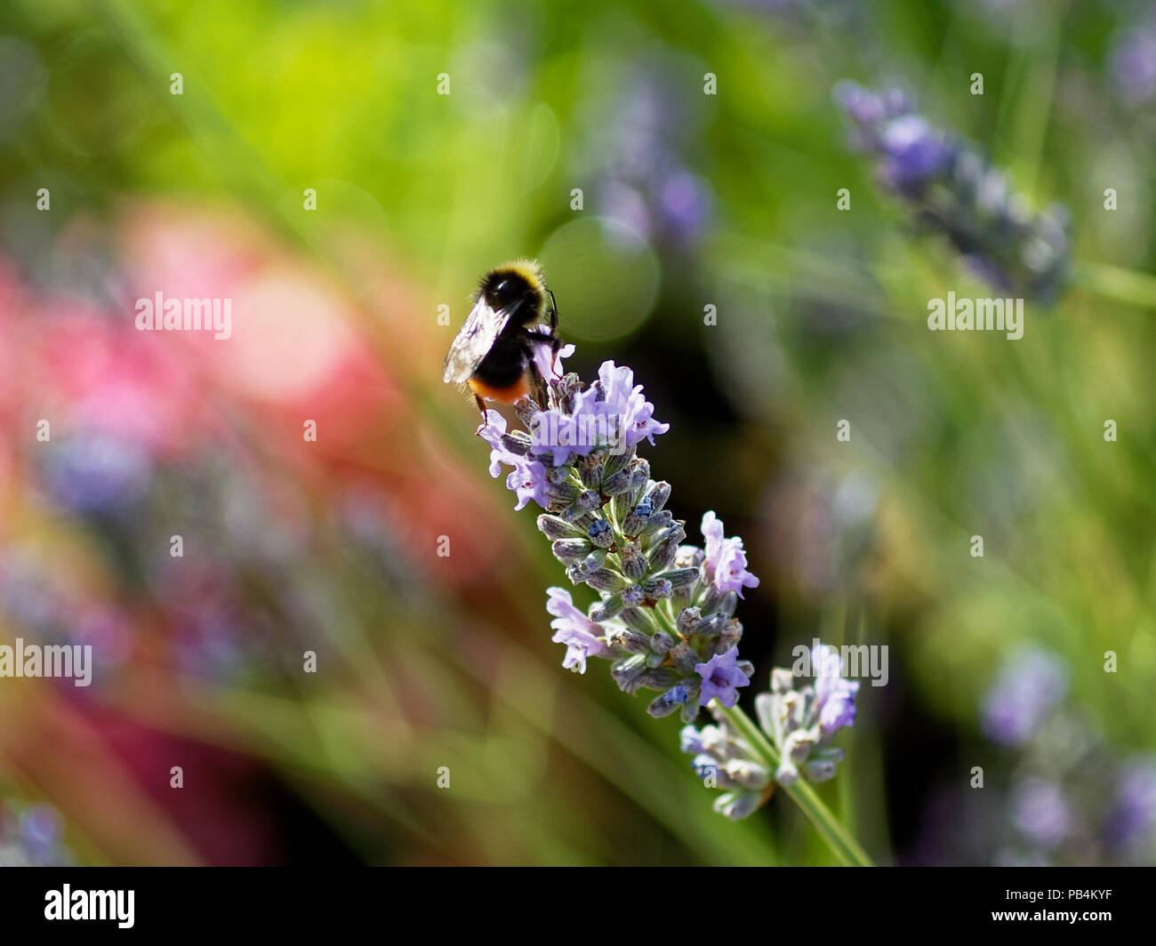 Bee in garden, Newport, South Wales - Stock Image