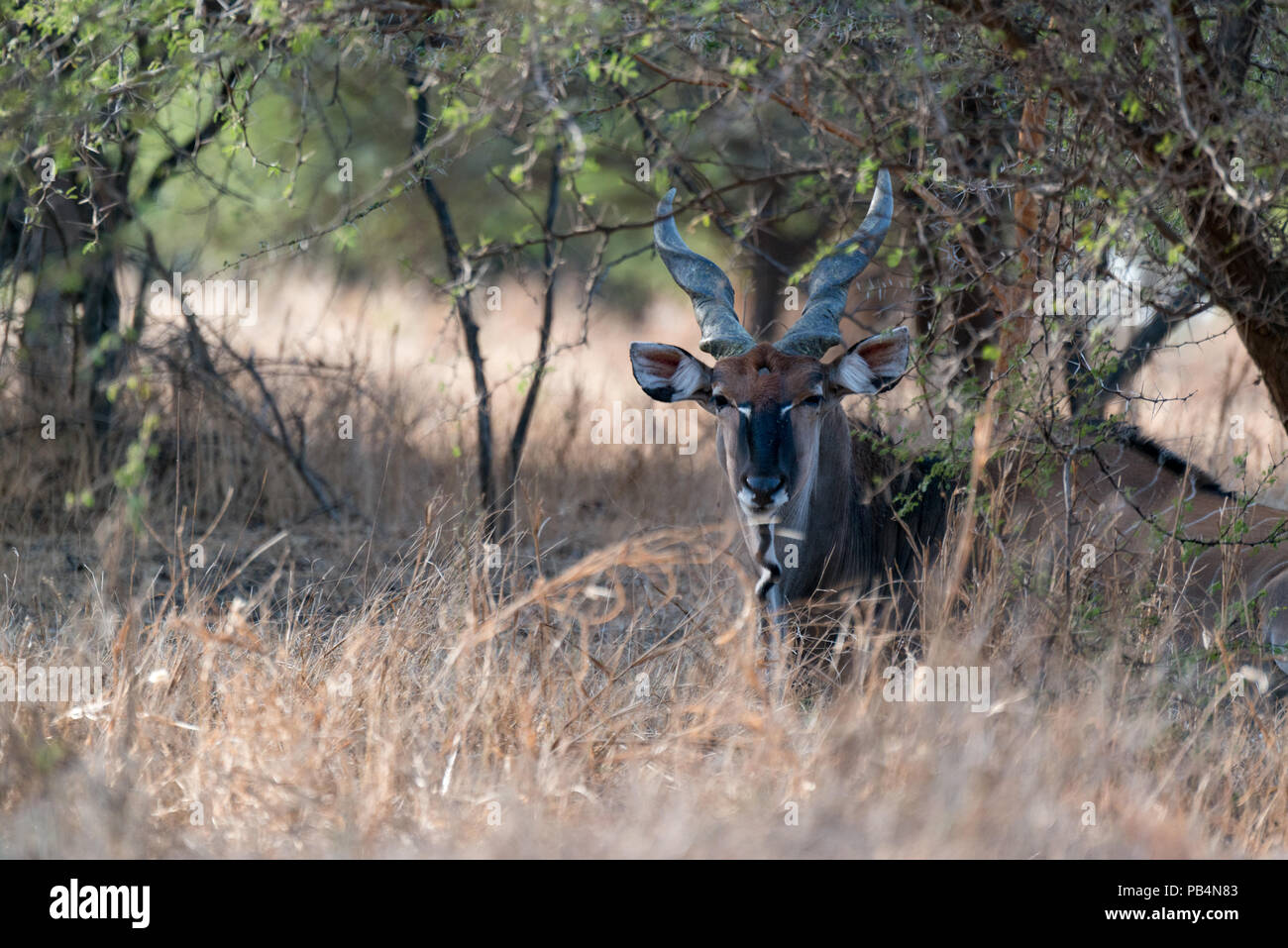 A derby eland at Bandia Reserve, Senegal - Stock Image