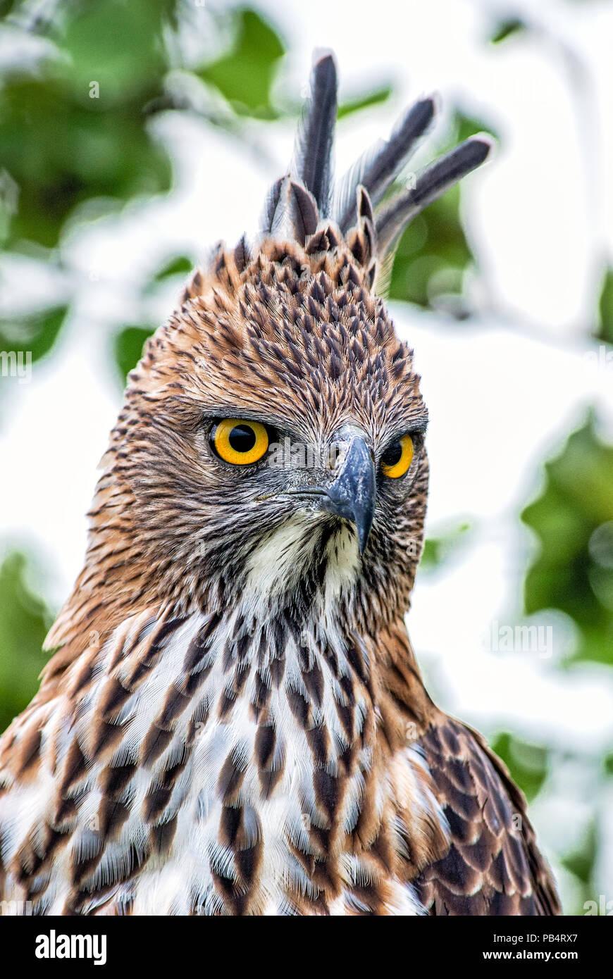 Changeable Hawk-eagle - Spizaetus cirrhatus, beautiful large bird of prey from Sri Lankan woodlands. - Stock Image