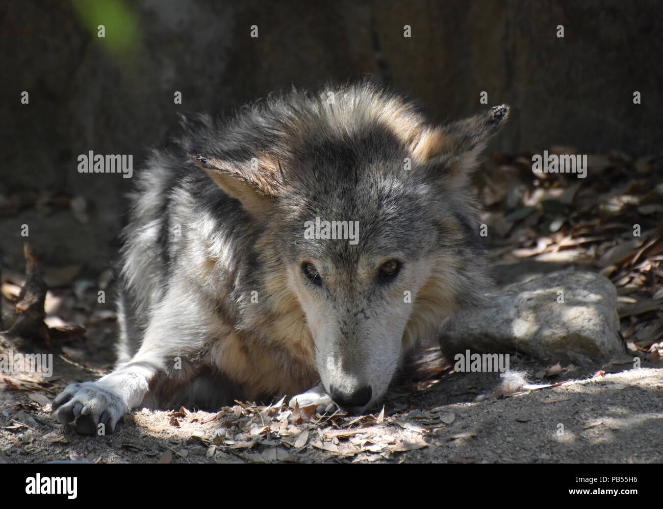 Spring day with thick fur on a tundra wolf resting. - Stock Image