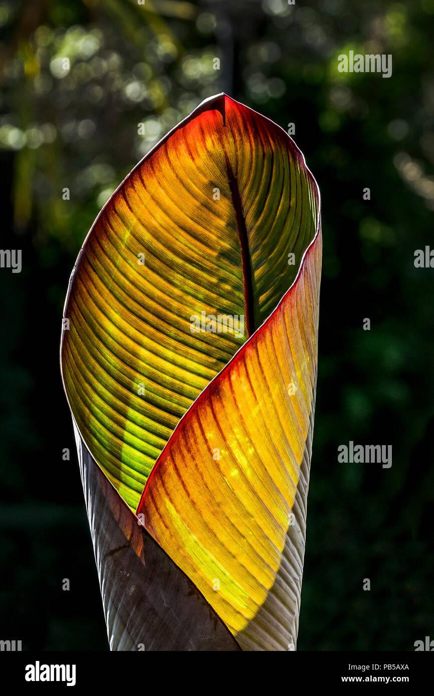 Intense sunlight illuminating the leaves of a Musa Santa Morelli plant. - Stock Image