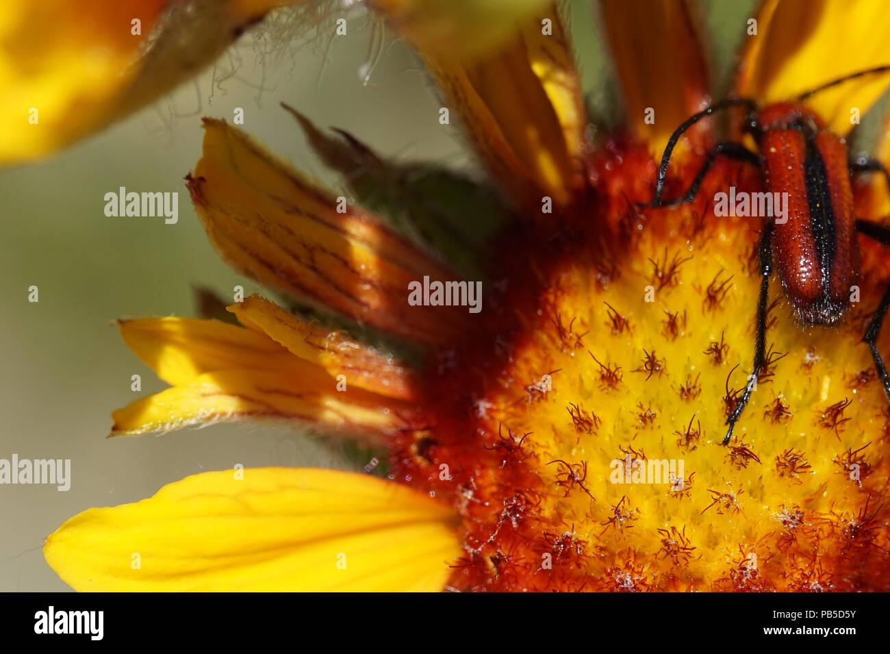 wild flower with red and black striped beetle, Inglewood Bird Sanctuary, Calgary, Alberta, Canada Stock Photo