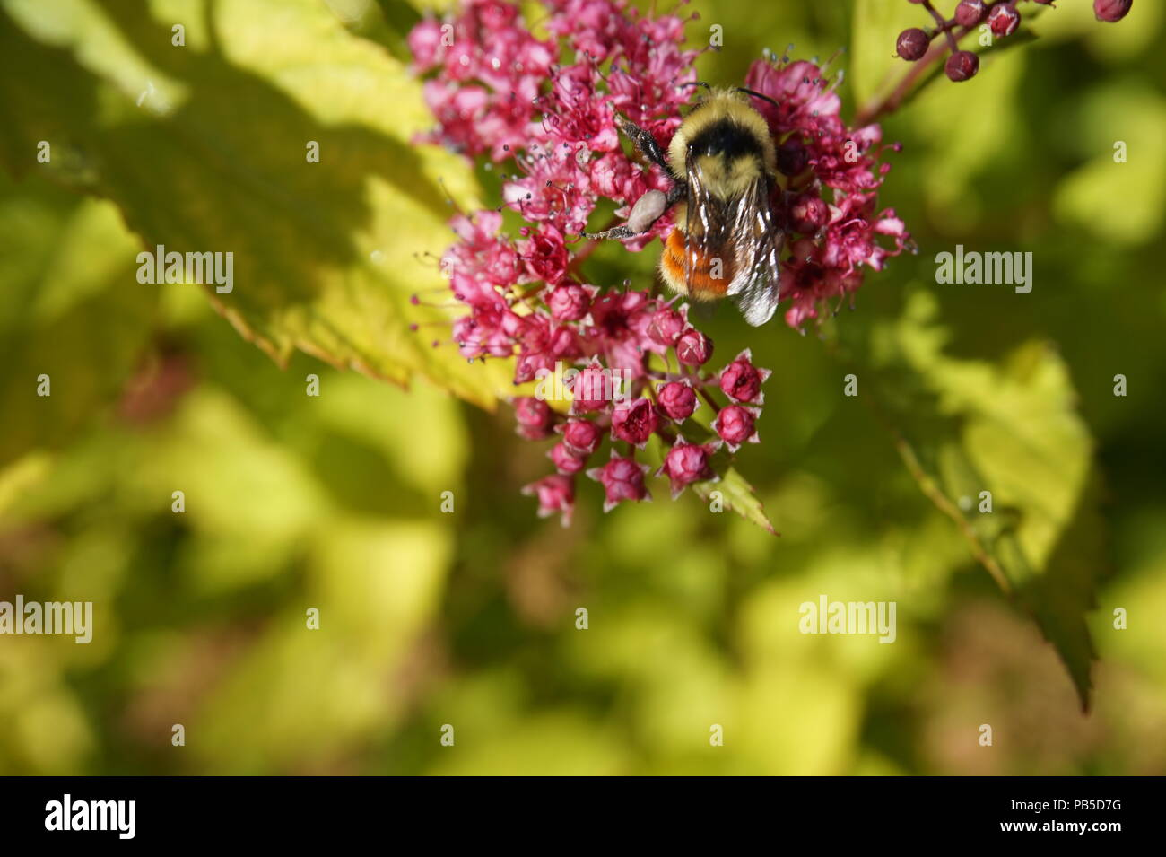 Honey Bee on pink wild flowers, Calgary Zoo, Calgary, Alberta, Canada - Stock Image