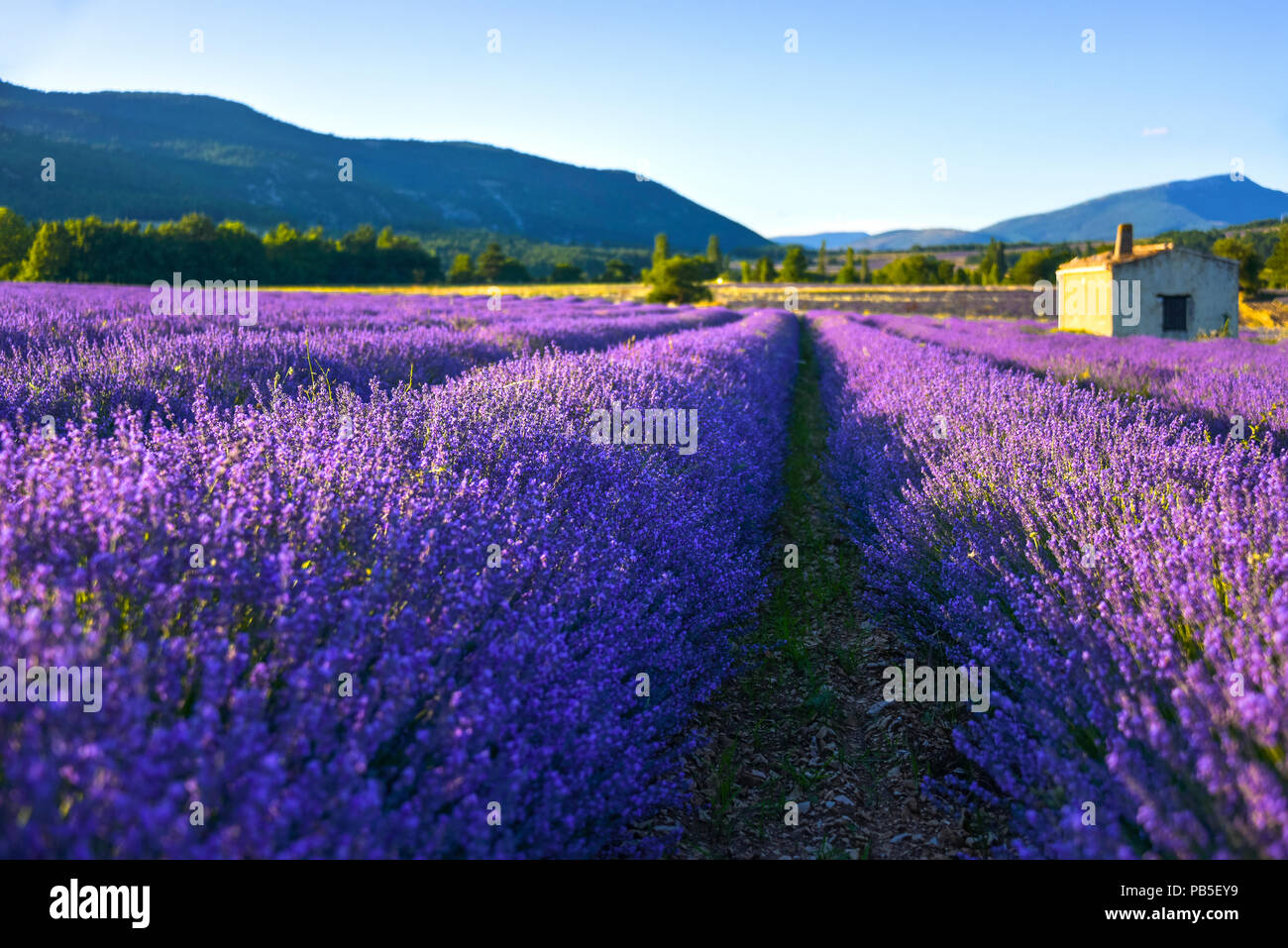 soft lighted lavender field with hut, Provence, France, dreamy close up with fuzziness Stock Photo