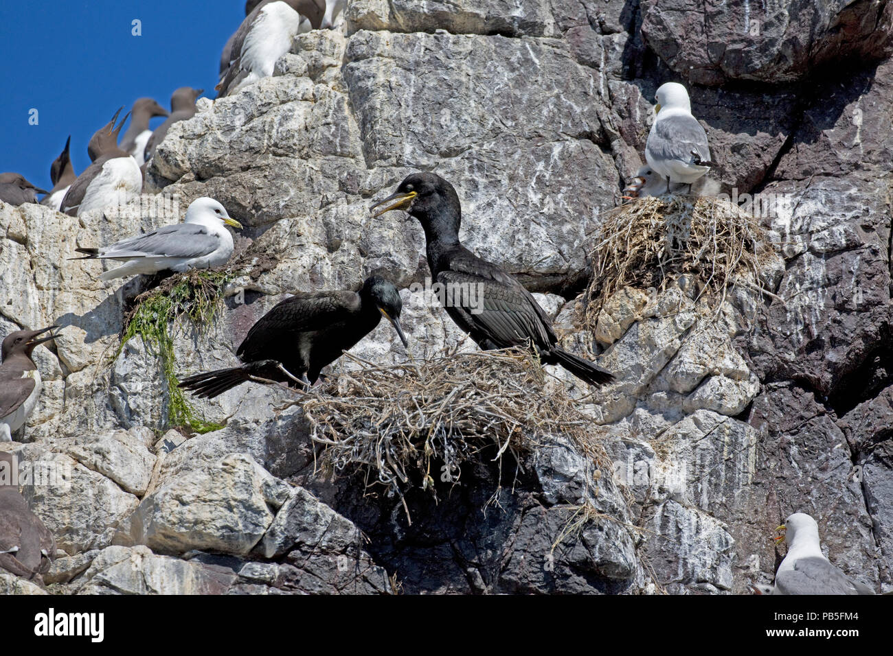 Shag with chicks nesting on rock outcrop Staple Island Farne Island Northumberland UK - Stock Image