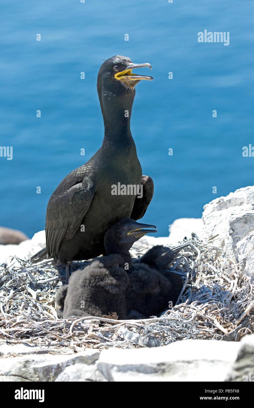 Shag with chicks nesting on rock outcrop Staple Island Farne Island Northumberland UK - Stock Image